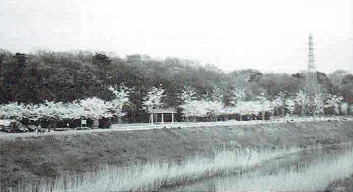 芝川沿いの桜並木